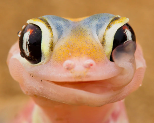 gecko Licking Dew off Eye