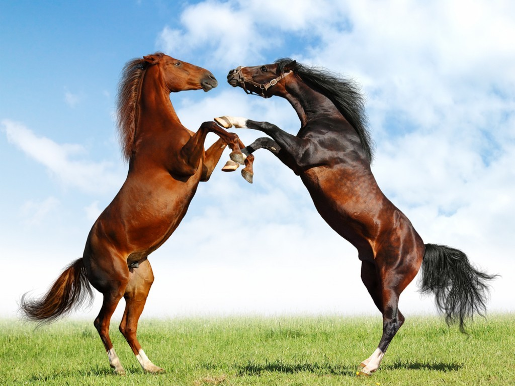 Two Beautiful Horses Fighting 4K HD Desktop Wallpaper for