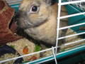 peanut - baby-bunnies photo