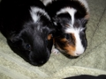 Cleo and Lavender - guinea-pigs photo