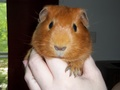 Nutmeg - guinea-pigs photo
