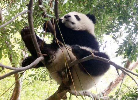 Pandas! :D