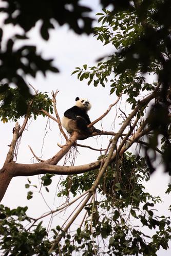 Pandas wallpaper called Pandas! :D