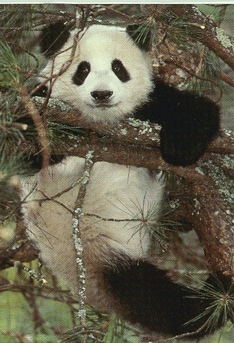 Pandas wallpaper probably containing a giant panda titled Pandas! :D