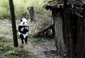 Person in a Panda Suit - pandas photo