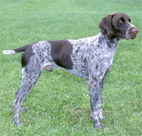 German Wirehaired And Shorthaired Pointers Images Adorable Hunting