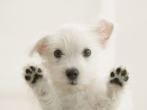 Cute Westie anak anjing, anjing