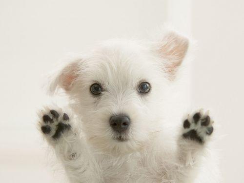 Westies wallpaper called Cute Westie Puppy