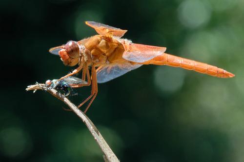 Dragonflies par Graham Owen