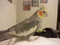 My bird, Alex - thewolfpack15 photo