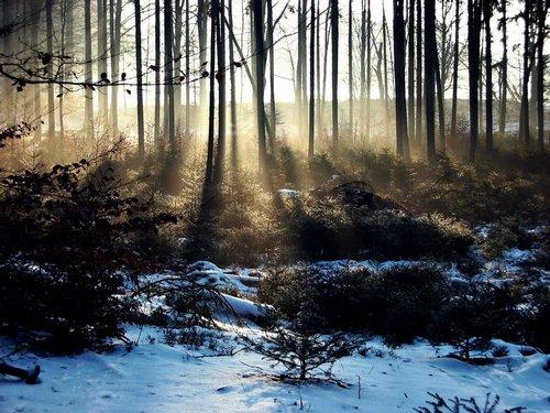 Snowy cây