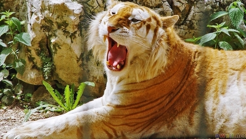 The Golden Tabby tiger