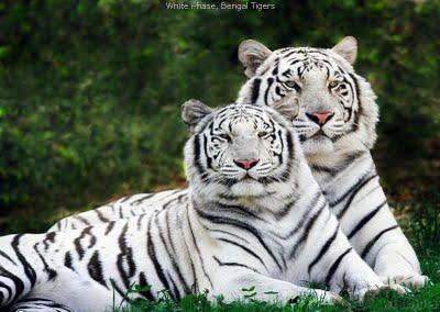 The white बाघों