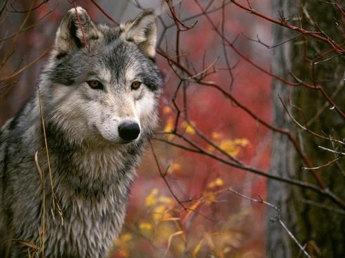 भेड़िया वॉलपेपर