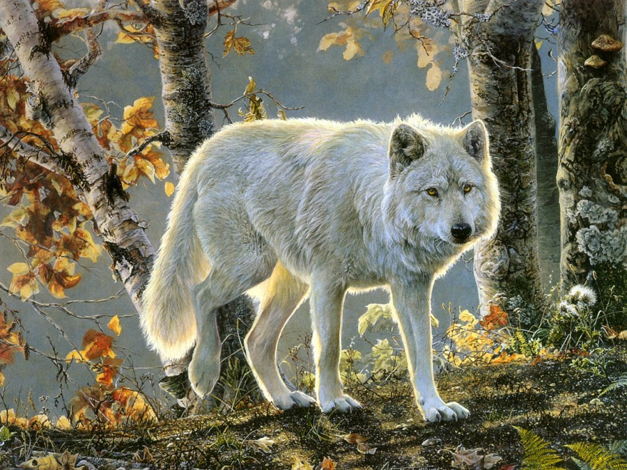Wolves the beaty white wolf