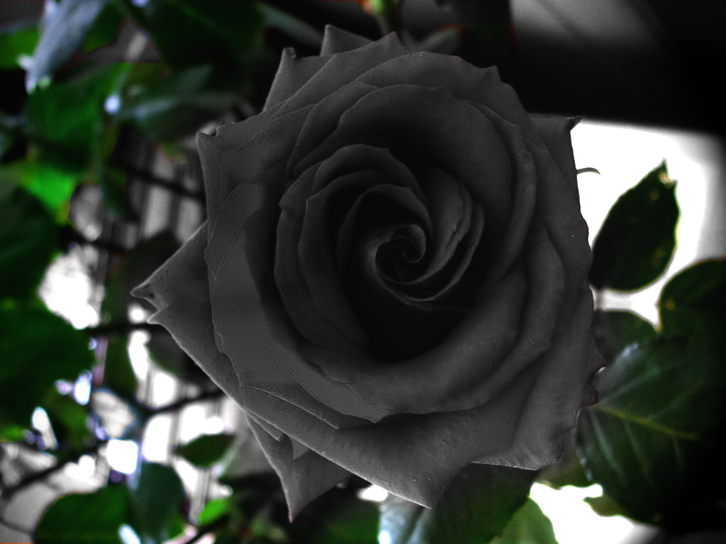 Black-Rose-black-roses-23860983-1024-768.png