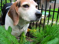 Delilah - beagles photo