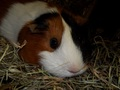 Esther - guinea-pigs photo