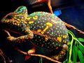 Female Veiled Chameleon Non-Receptive yet Beautiful Colors