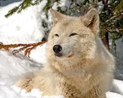 Glow's wolf form