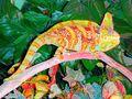 Male Veiled Chameleon Doing Highlighter Impression