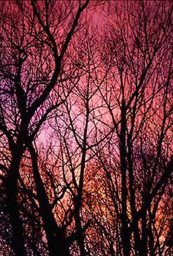 rosa, -de-rosa Trees