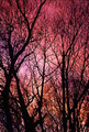 Pink Trees - pink-color photo