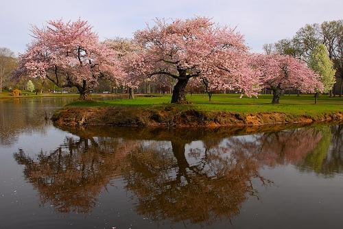 berwarna merah muda, merah muda Trees