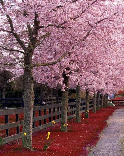 粉, 粉色 Trees