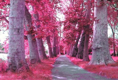 rosado, rosa Trees