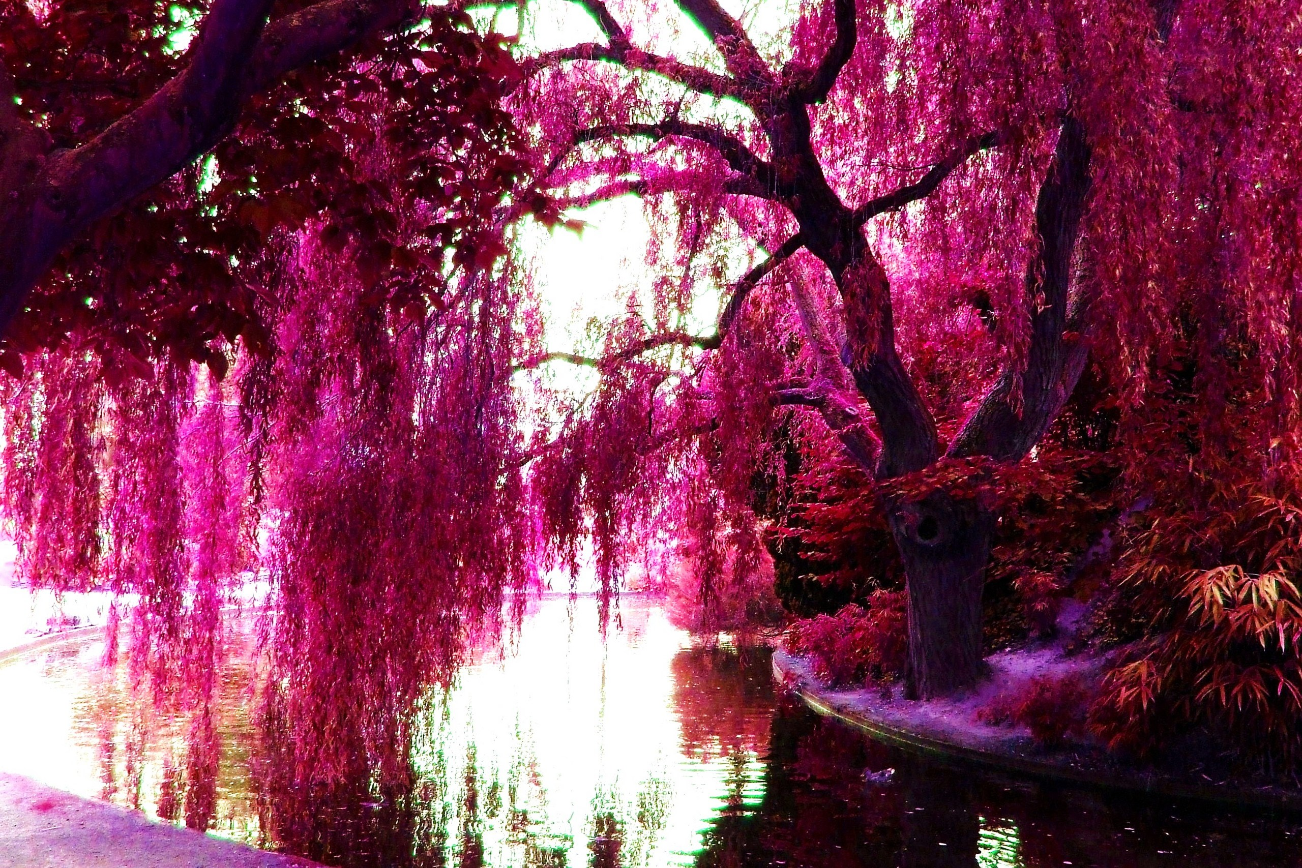 Pink Color Images Trees Hd Wallpaper And Background Photos