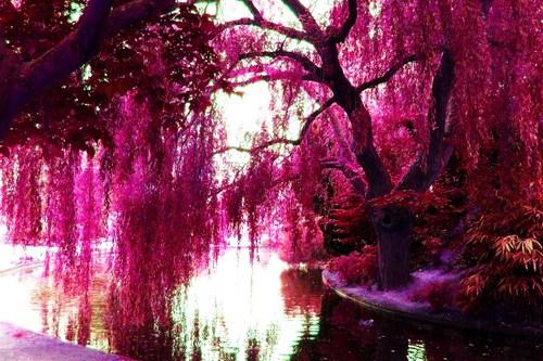 kulay-rosas Trees