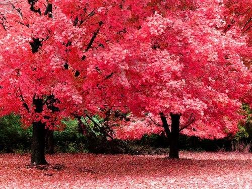 Pink Tree Flowers Spring
