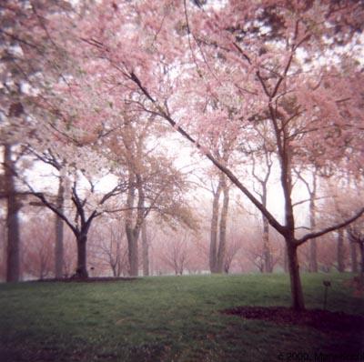 rosa Trees