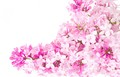 Pink flowers - pink-color photo