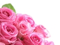 Pink roses - pink-color photo
