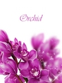 Purple orchid - purple photo