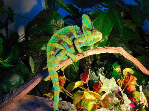 Reptiles wallpaper entitled ADULT MALE VEILED YEMEN CHAMELEON