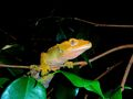 FLAME ORANGE FEMALE CRESTED GECKO CLOSE UP EYES