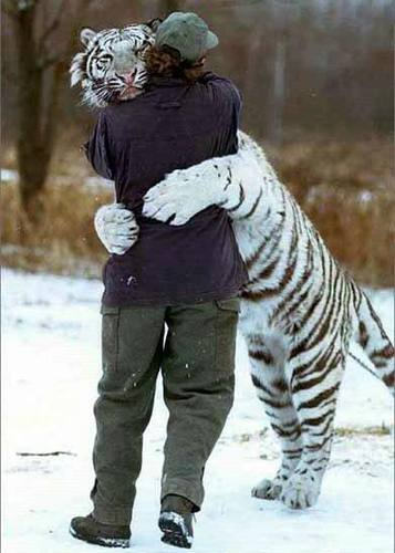 Animals images Tiger hugs a man wallpaper and background photos