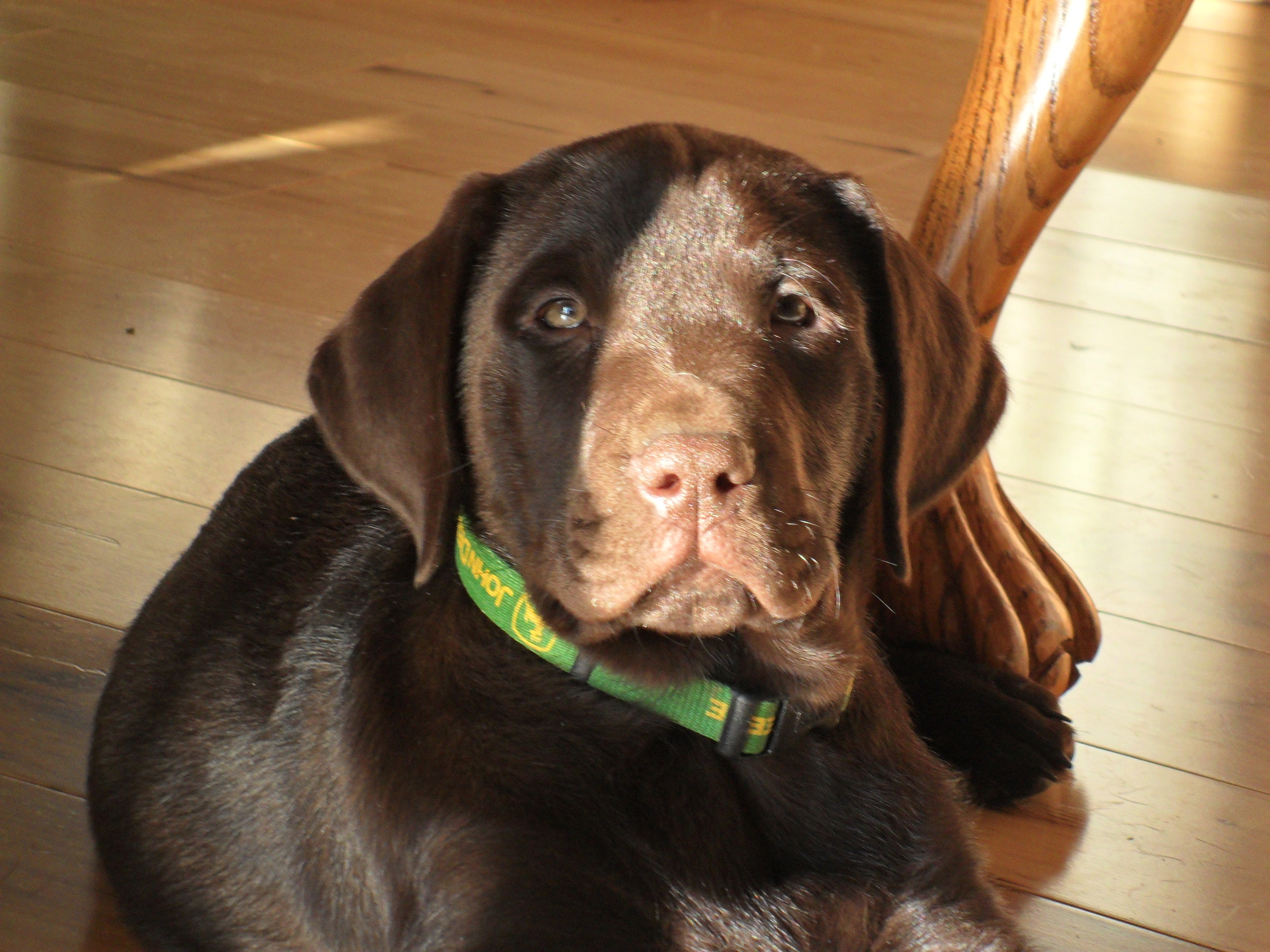 Chocolate Labs images male chocolate lab puppy HD ...