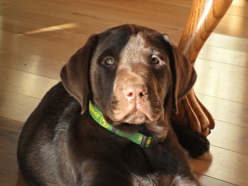 male chocolate lab puppy
