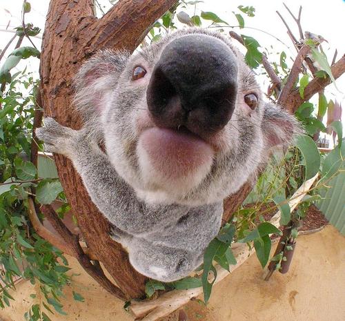 Australia 바탕화면 with a koala titled Big nose koala