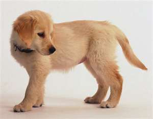 Golden Retrievers achtergrond probably with a golden retriever entitled CUTE puppy