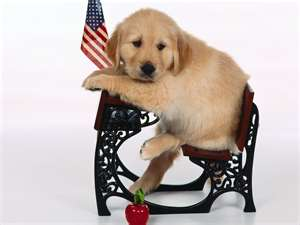 Golden Retrievers wallpaper possibly with a golden retriever titled CUTE PUPPY