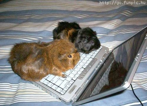 Guinea Pigs wallpaper probably with a laptop called Guinea pigs