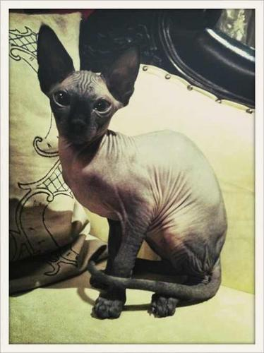 Kat Von D kertas dinding with a mexican hairless entitled KAT CAT:)♥