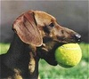 Dachshunds photo probably with a tennis racket and a tennis pro called My Baby