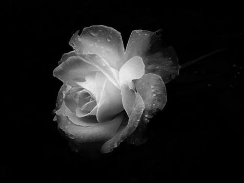 A Rose For You Princess <3