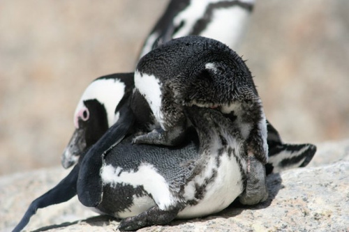 African Penguins Making l'amour From Back View